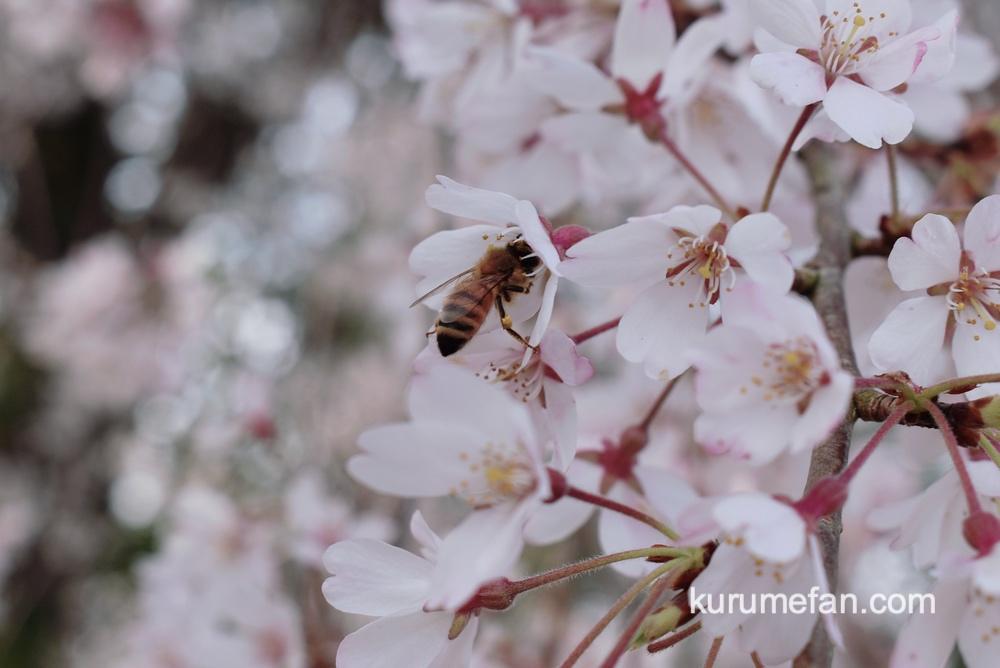 うきは市 法華原の大しだれ桜「身延桜(みのぶざくら)」ミツバチ