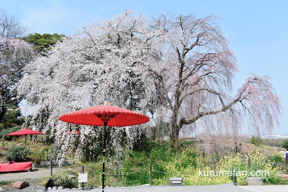 うきは市 身延桜が見頃!法華原の大しだれ桜 夜にはライトアップも【2021年】