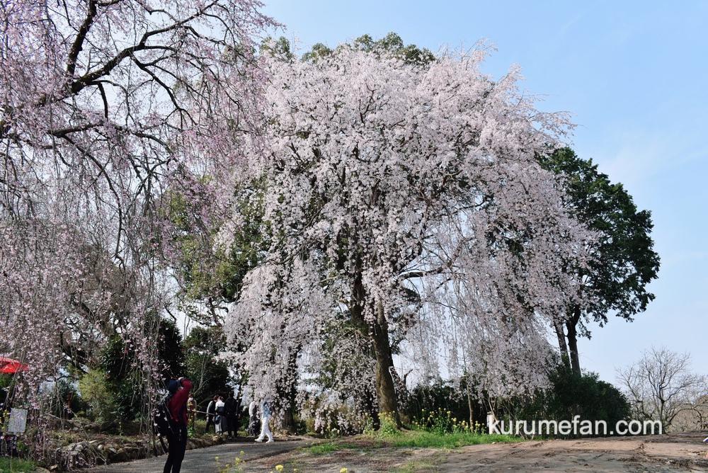 うきは市 法華原の大しだれ桜「身延桜(みのぶざくら)」