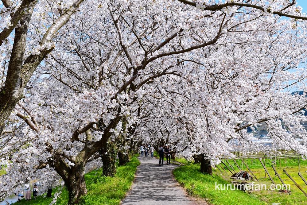 うきは市 約2キロ続く流川さくら並木 桜のトンネル