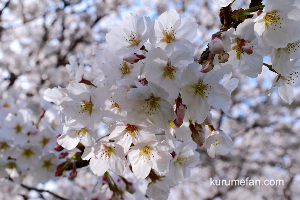 うきは市 流川 桜の花