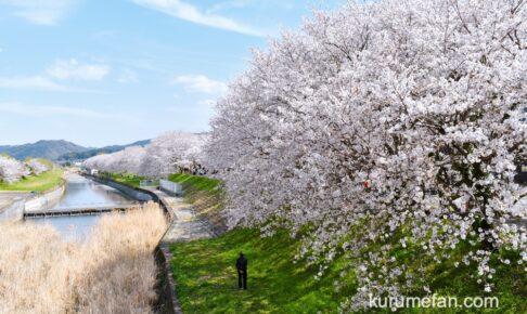 うきは市 流川の桜並木が見頃!約2キロ続くが満開の桜に感動