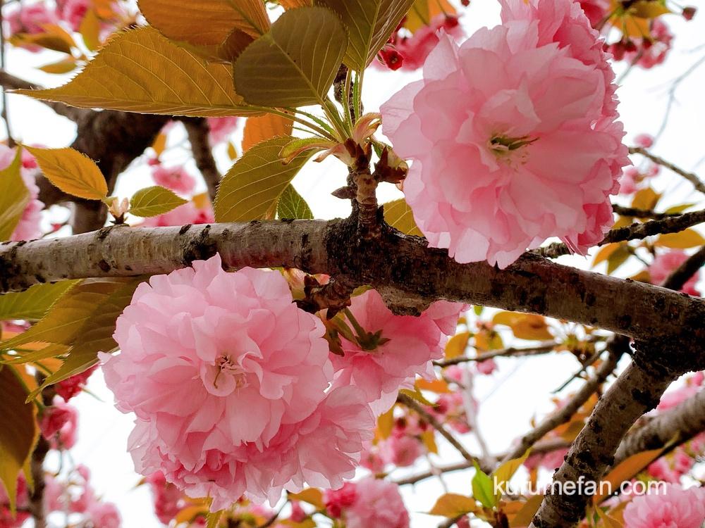 久留米市の池町川沿いのサトザクラの花