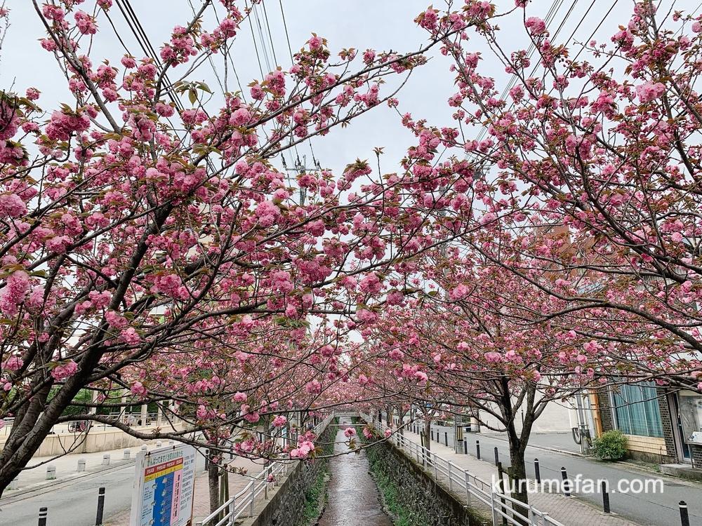 久留米市 池町川沿いのサトザクラがもう少しで見頃!ピンク色の花がキレイ