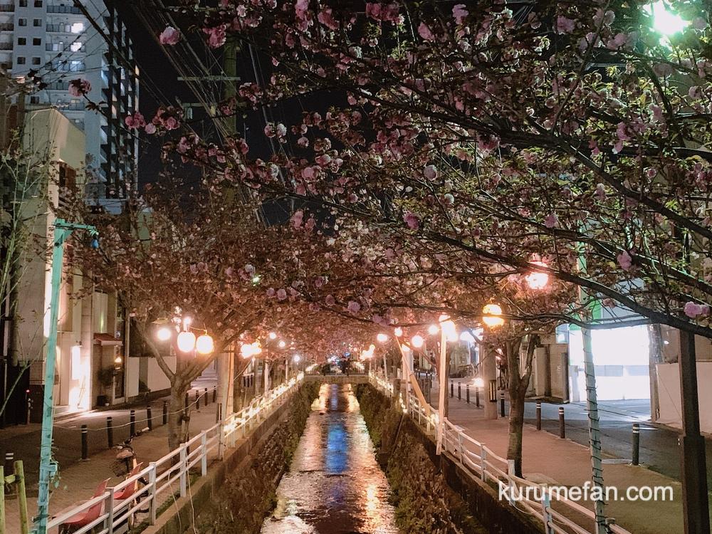 久留米市の池町川沿いのサトザクラと提灯