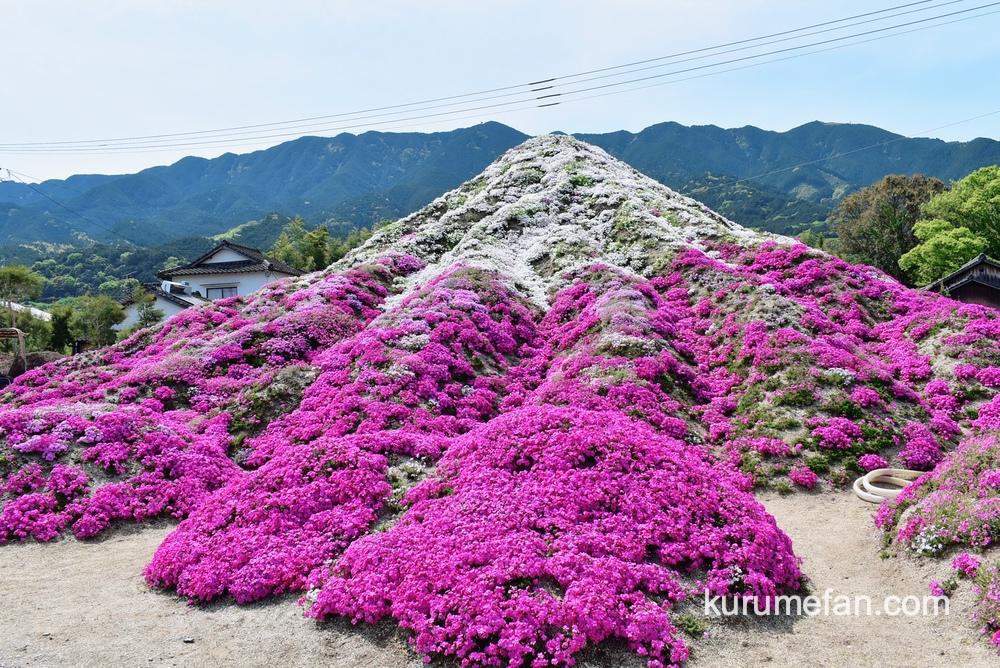 久留米市田主丸町「田主丸の芝桜富士」高さ4メートルの芝桜富士