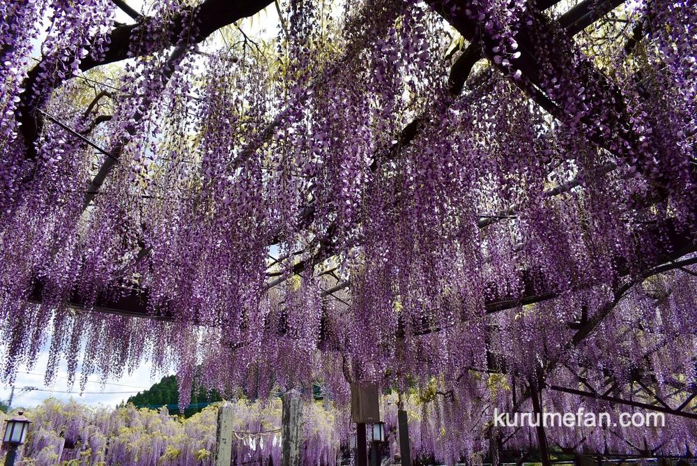 黒木の大藤 樹齢約600年以上の長寿の藤 約3,000平方メートルもの広大な藤棚
