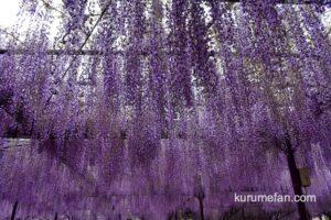 八女市 黒木の大藤が見頃 樹齢600年以上の長寿のフジ【2021年】