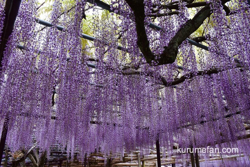 八女市 黒木の大藤 藤の花