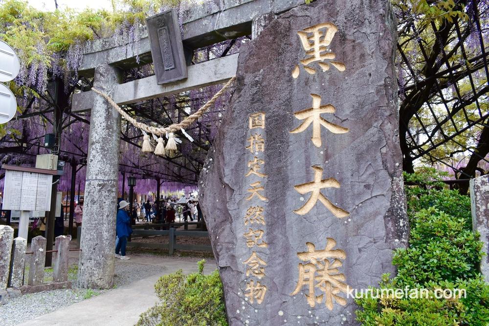 黒木の大藤 素盞嗚(すさのお)神社境内にある藤棚