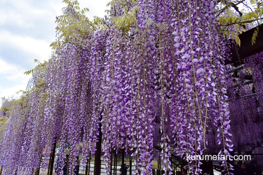 八女市 黒木の大藤 藤の花 フジの香りに包まれる