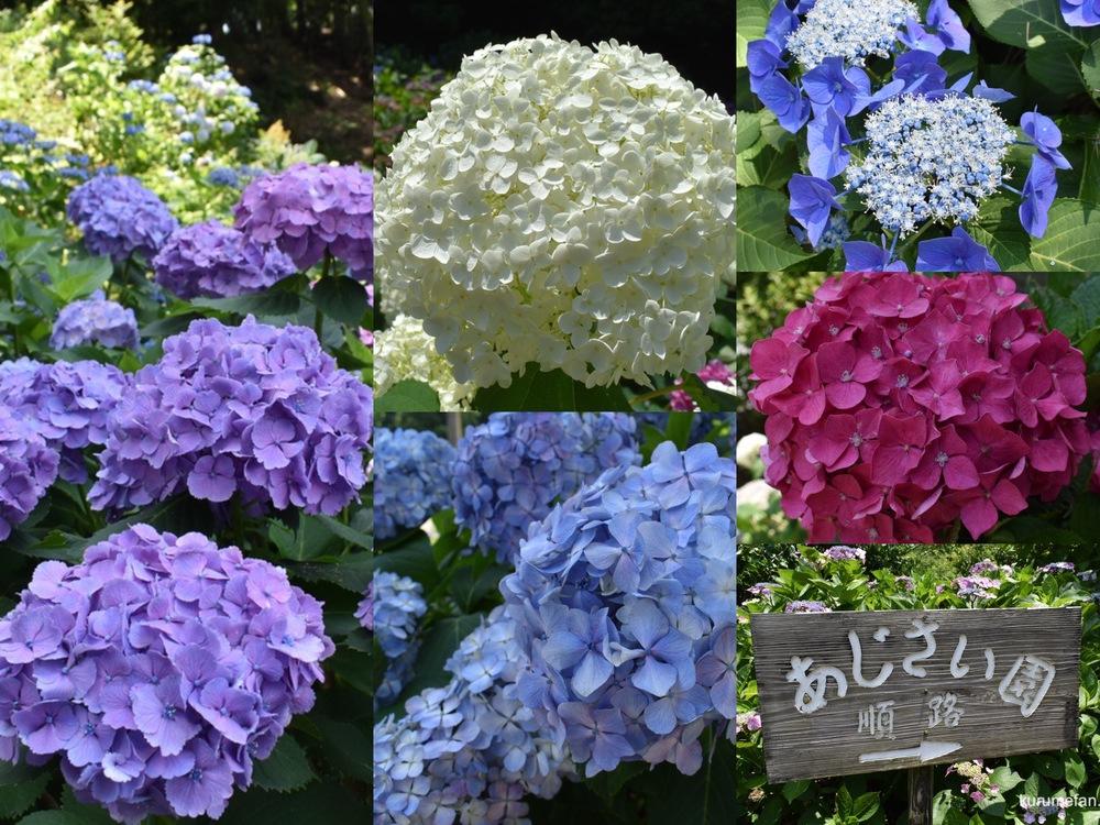 久留米市 千光寺あじさい祭り 約7,000株の紫陽花【2021年6月】