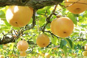 中村果樹園フルトリエの観光梨狩り 久留米市でなし狩りを楽しめる!