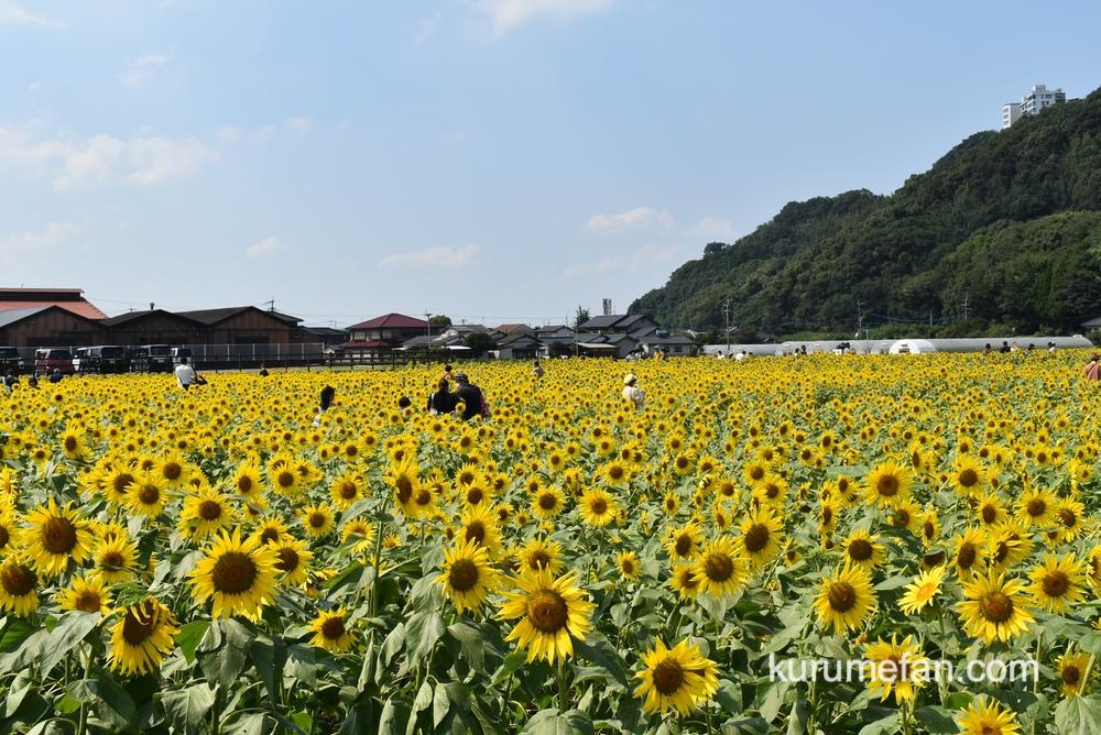 道の駅 原鶴のひまわり 黄色い絨毯のような絶景