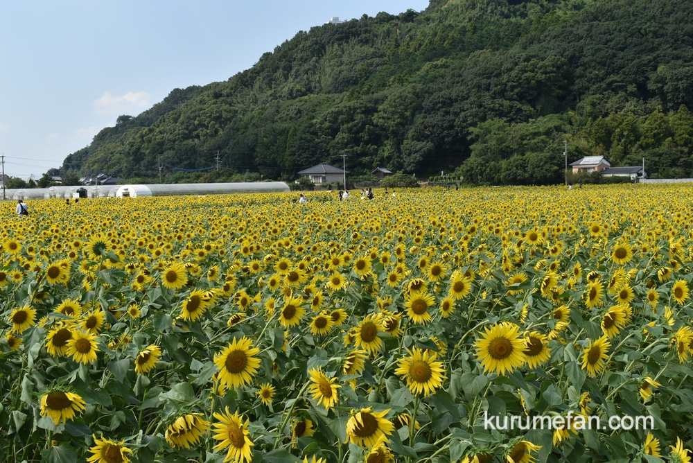 道の駅 原鶴のひまわり ひまわり畑で視界いっぱいに広がる黄色の絨毯を体感