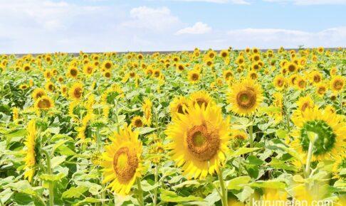 柳川ひまわり園 10/29より開園 20万本のひまわりライトアップも