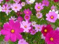 約1,000万本ものコスモスが咲き乱れる!キリン花園の秋桜