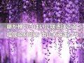 柳川市「中山大藤まつり」樹齢約300年 藤の香りが辺りを包む