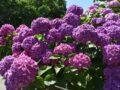 千光寺(あじさい寺)へ行ってきた!見頃を迎えた色鮮やかな紫陽花【久留米市】