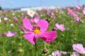 キリンビール福岡工場 コスモスを見てきた!花園の秋桜に圧巻!【開花状況】