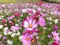 綺麗!久留米市 リバーサイドパーク小森野地区のコスモス花畑へ行ってきた!