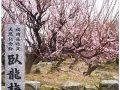 大牟田市 臥龍梅(がりゅうばい)全長24メートル 樹齢450年の梅