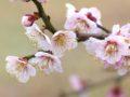 七ツ家「梅の木街道」約1kmも続く梅並木 「七ツ家梅の木街道公園梅祭」開催