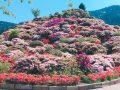星の花公園 シャクナゲまつり 3万本の和洋のシャクナゲが咲き誇る