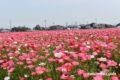 味坂ポピー園へ行ってきた!8,000坪に咲く約100万本のポピー