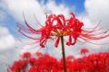 うきは 彼岸花めぐり&ばさら祭り2019 棚田を彩る彼岸花と山間部の特産物