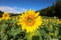みやき町 山田ひまわり園に行ってきた!秋の棚田に咲く10万本のひまわり