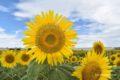 柳川市 冬のひまわり園 約20万本がひまわりが冬に咲き誇る【開花情報】