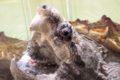 大川市の花宗川でワニガメ1匹が捕獲される 体長約80センチ
