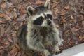 柳川市でアライグマ(特定外来生物)が初めて発見され1頭捕獲される