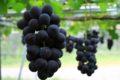 柳川観光ぶどう園 8月8日より販売 収穫体験は今年は中止に【柳川市】