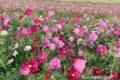 久留米市リバーサイドパーク小森野 コスモス畑が見頃に 15万本のコスモス