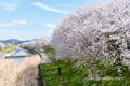 うきは市 流川の桜並木が見頃!約2キロ続く満開の桜に感動