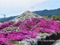 久留米市 田主丸の芝桜富士が綺麗!高さ4メートル シバザクラの富士山【動画あり】
